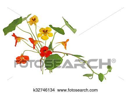 Banque De Photo Capucine Fleur K32746134 Recherchez Des Images