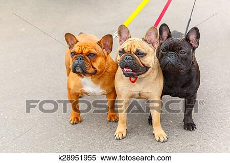 Tre cani domestici bulldog francese razza archivio fotografico