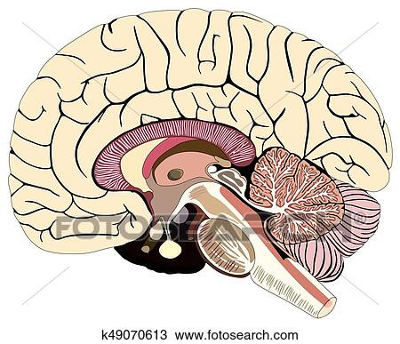 Clipart Of Median Section Of Human Brain Diagram K49070613 Search
