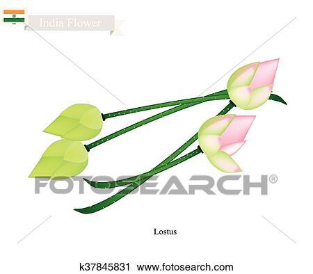 Clipart - nenúfar, flor, el, flor nacional, de, india k37845831 ...