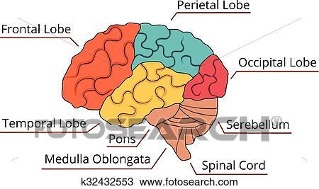 Clipart - cerebro, función, diagrama k32432553 - Buscar Clip Art ...