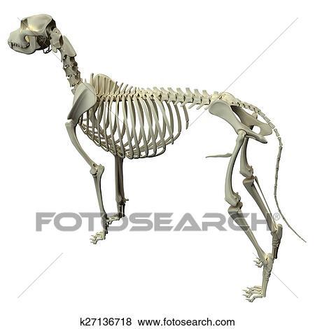 Stock Illustration Of Dog Skeleton Anatomy Anatomy Of A Male Dog