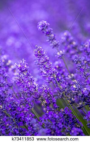 Blooming Lavender Fields In Pacific Northwest Usa Stock Image