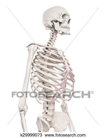 Teckning - den, skelett system, -, den, bröstkorg k29999073 - Sök ...