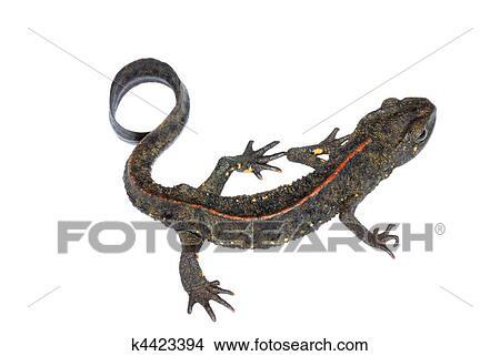 Siluetta nera di una salamandra gigante giapponese illustrazione