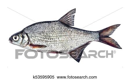 Fish silver bream with scales isolated on white background (Blicca  bjoerkna) Stock Photography