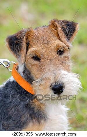 Stock Bilder - teilausschnitt, von, typisch, fuchs terrier, draht ...