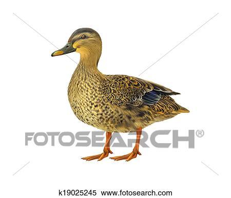 Stock Illustration of Female mallard duck isolated on white ...