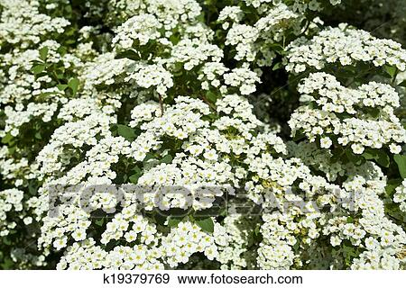 Stock photograph of the bush white flowers k19379769 search stock the bush white flowers in the spring mightylinksfo