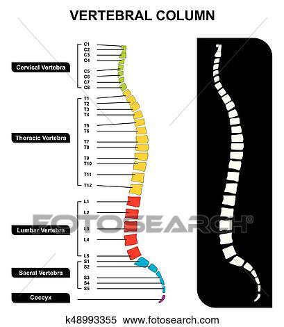 Clipart - columna vertebral, espina dorsal, anatomía, diagrama ...