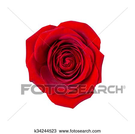Sombre Rose Rouge Sur Isolé Fond Dessin
