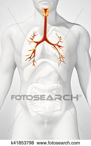 Fotos - 3d, ilustración, de, laringe, tráquea, bronchi. k41853798 ...