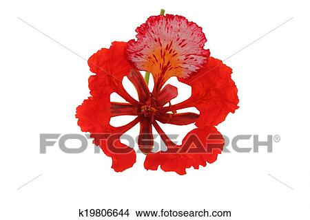 Stock photo of gulmohar flower in white background k19806644 gulmohar flower in white background a gulmohar tree is an ornamental tree that is scientifically called delonix regia the gulmohar tree also known as mightylinksfo