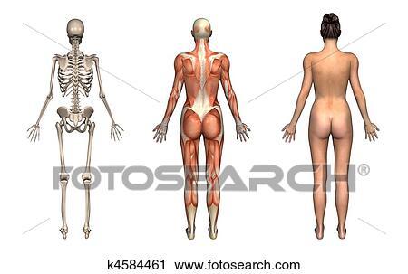 Stock Photography Of Anatomy Overlays Female Back K4584461