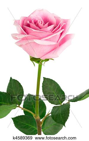 stock photograph of single pink rose k4589369 search stock