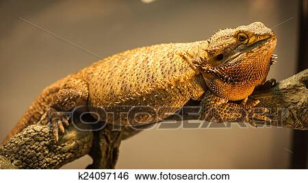 German Giant Bearded Dragon Stock Images K24097146