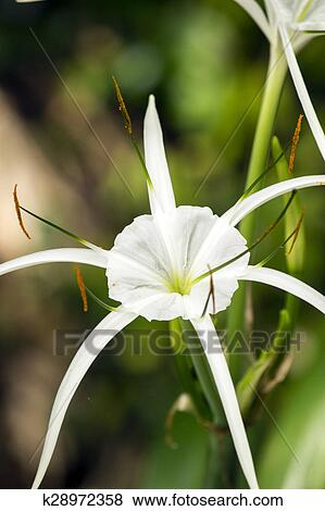 Pictures of white lily like flower spider lily k28972358 search picture white lily like flower spider lily fotosearch search stock photos mightylinksfo