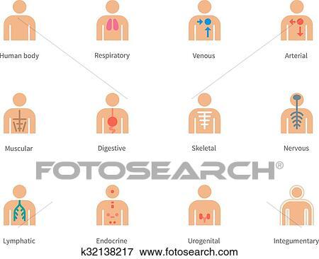 Clip Art - cuerpo humano, y, anatomía, color, iconos, blanco, fondo ...