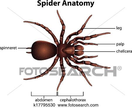 Clipart of Anatomy of a spider k17795530 - Search Clip Art ...