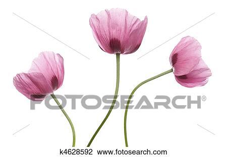 Stock photo of pink purple poppies k4628592 search stock pink purple poppy studio cutout mightylinksfo