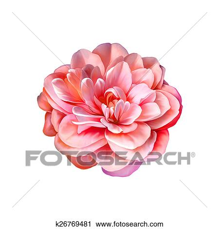 Clipart Beau Clair Rose Camelia Fleur Isole Blanc Fond