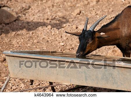 stock photo of a brown goat drinking water k4643964 search stock
