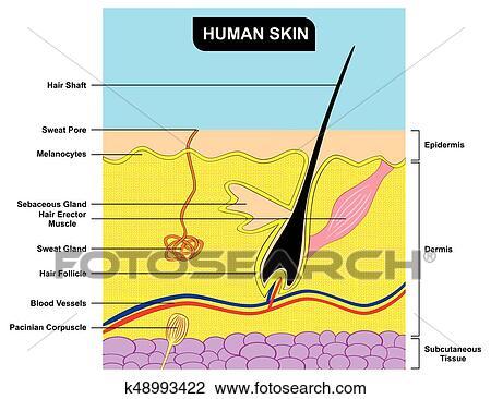 Clipart - piel humana, sección transversal, anatomía, diagrama ...