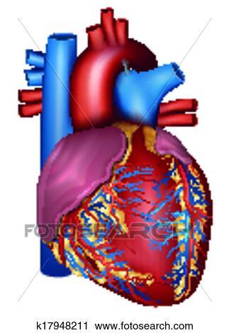 Clipart cuore umano dettagliato anatomia colorito for Clipart cuore