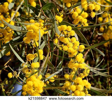 Fiori Gialli Rotondi.Ramo Di Mimosa Pianta Con Rotondo Lanuginoso Fiori Gialli