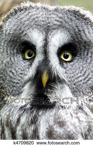 Great Grey Owl Clipart   k4709820   Fotosearch