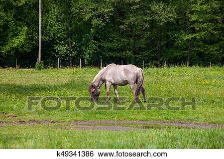 stock afbeeldingen - aanzicht, van, tarpan, wilde paarden k49341386