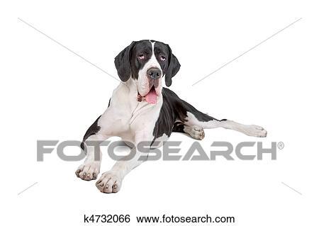 Stock Bilder - deutsche dogge k4732066 - Suche Stockfotografie ...