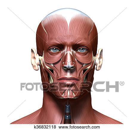 Colección de ilustraciones - anatomía, 3d, cabeza, modelo, con, cara ...