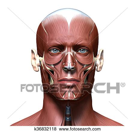 Stock Illustration of anatomy 3d head model with face muscles ...