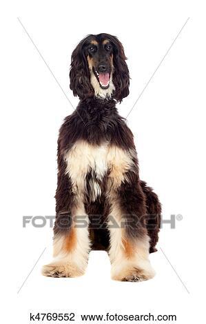 Borzoi Breed Dog Stock Image