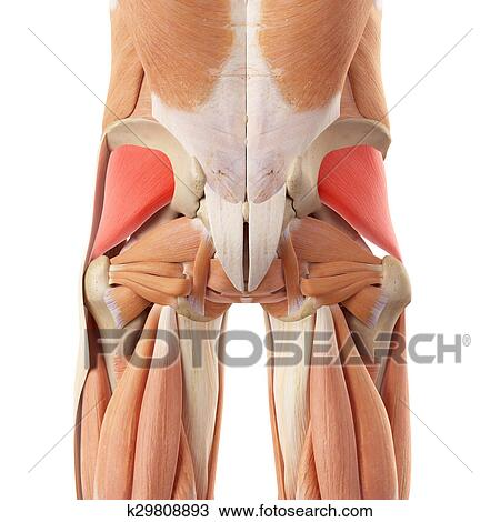 Drawing Of The Gluteus Minimus K29808893 Search Clipart