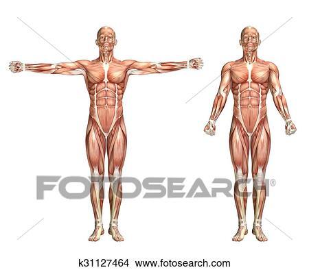 Zeichnungen - 3d, männlich, medizinische, figur, ausstellung ...