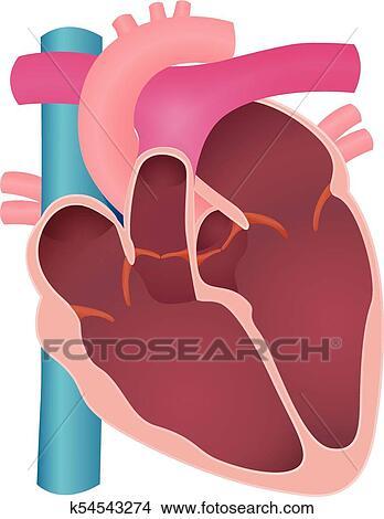 Clipart - anatomía, de, el, corazón humano k54543274 - Buscar Clip ...