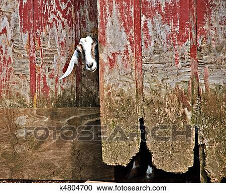 A Goat Sticking Its Head Out Of An Old Barn.