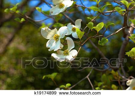 White Flowering Dogwood Tree Stock Photo K19174899 Fotosearch