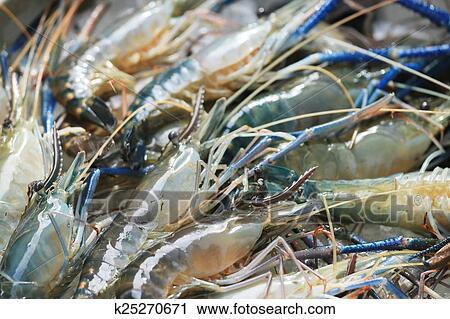 Raw giant freshwater prawn Stock Image