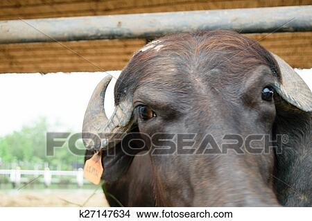 Murrah buffalo Picture