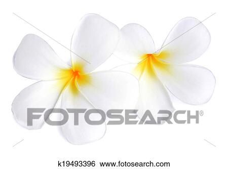 Stock images of tropical flowers frangipani plumeria isolated on tropical flowers frangipani plumeria isolated on white background mightylinksfo