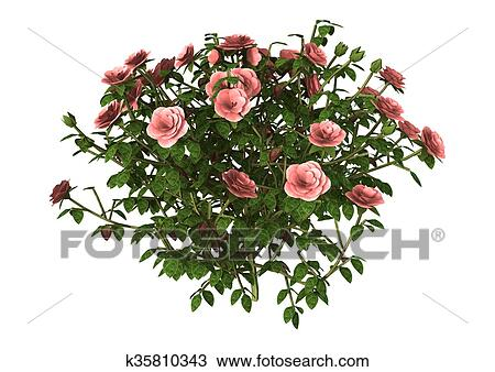 drawing of 3d illustration pink rose bush on white k35810343