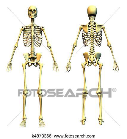 Stock Illustration of Skeleton Front & Back k4873366 - Search Clip ...