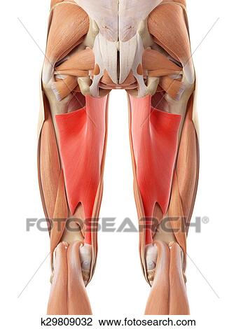 Clip Art of The adductor magnus k29809032 - Search Clipart ...