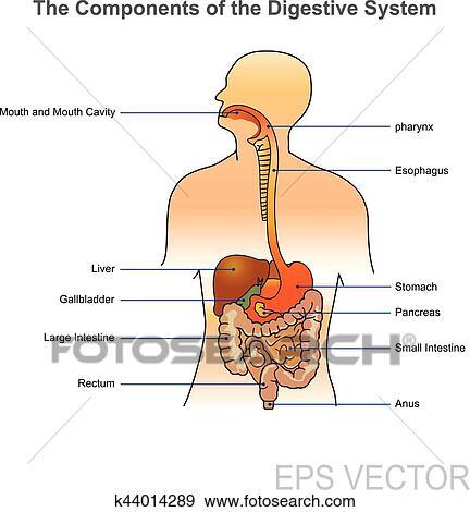 Clip Art of The human digestive system. Illustration. k44014289 ...