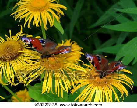 Fotos Dos Pavo Real Mariposas En Flores K30323138 Buscar
