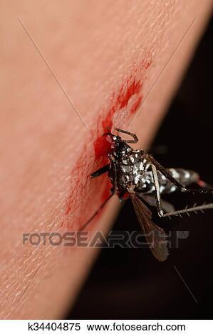Macro, di, zanzara, succhiare, sangue Archivio fotografico