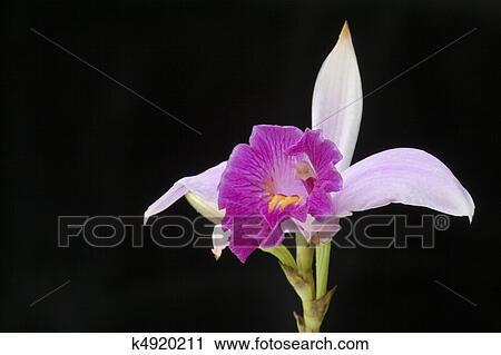 orchidee latin
